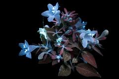 Abelia 1 s (C. Burrows) Tags: uvivf flower botany nature