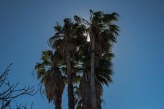 Mexican Fan Palms - South Texas Botanical Gardens & Nature Center - Corpus Christi - Texas - 25 February 2017 (goatlockerguns) Tags: south texas botanical gardens nature center corpus christi natural southern gulfofmexico coast coastal usa unitedstatesofamerica nueces county