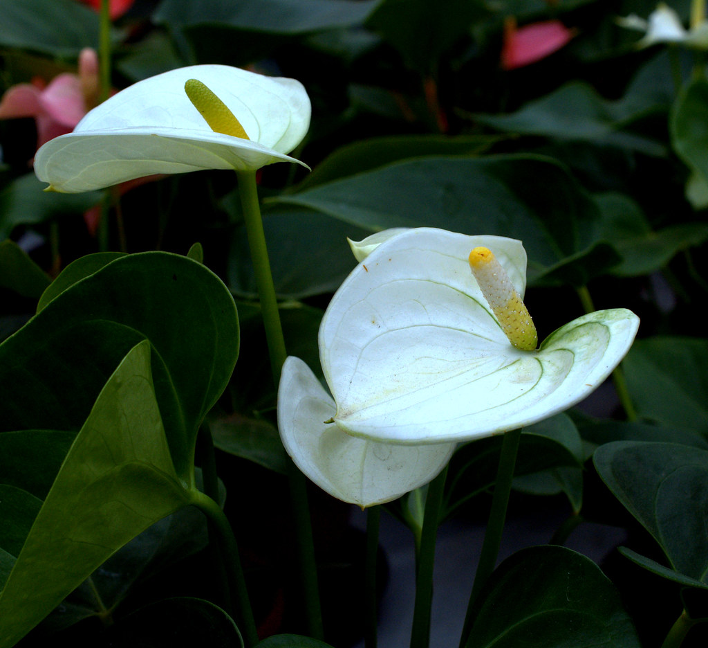 The worlds newest photos of anthuriums and flower flickr hive mind anturius branco pedro serafini tags anturio flower anthuriums planta izmirmasajfo