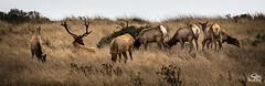 The Harem - Tule Elk at Point Reyes (Selkii's Photos) Tags: california marincounty pointreyesnationalseashore tuleelk inverness unitedstates us sunset dusk