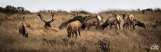 The Harem - Tule Elk at Point Reyes