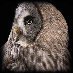 Hey! (hehaden) Tags: bird owl greatgreyowl strixnebulosa head face profile studio captivelight libertysowlraptorreptilecentre ringwood hampshire