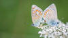 Mating Butterflies (kuhnmi) Tags: butterfly bläuling lycaenidae polyommatinae blues mating paarung sichpaaren fortpflanzung nature natur macro macroshot macrophotography makro makrofotographie pattern texture wings flügel frühlingsgefühle love liebe romantic romantisch tagfalter begattung insect insekt animal animals tier tierwelt fauna erwischt schamlos irchelpark