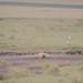 Sleeping hyena and ibis. Ngorongoro