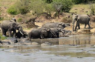 elephants buvant dans la talek