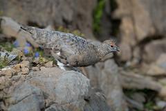 Abflugbereit.... (bertheeb) Tags: alpenschneehuhn vogel nikon d750