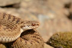 Pembrokeshire Beauty (4) - female adder, Vipera berus (willjatkins) Tags: snakes snake snakesofeurope wildlife europeanreptiles europeansnakes europeanwildlife ukwildlife ukreptilesandamphibians ukamphibiansandreptiles ukreptiles uksnakes britishwildlife britishamphibiansandreptiles britishreptilesandamphibians britishreptiles britishsnakes welshwildlife adder adders viperaberus viper vipera closeupwildlife closeup animalportrait macro macrowildlife nikond7100 sigma105mm