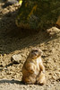 Wich Stone Do You Mean? (Alfred Grupstra) Tags: animal mammal wildlife marmot nature outdoors cute rodent woodchuck prairiedog brown small desert animalsinthewild groundsquirrel sand looking standing fur stone