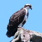 Osprey - Bayard Cutting Arbortorium thumbnail