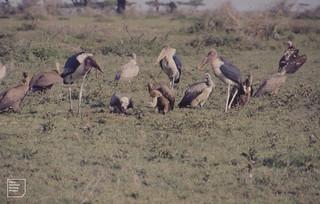Marabou, Griffon and Nubian (lappet faced) vultures. Ndutu