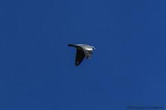 Palombe_7151 (lucbarre) Tags: palombe palombes palombiiére palombiéres sudouest losse estampon migration migrateur filet chasse extérieur ramier oiseau oiseaux