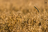 The catcher in the rye, part I, take no. 2 (mkarwowski) Tags: summer cereal ear rye canon eos 80d canoneos80d bokeh eos80d ef 400mm f56l usm canonef400mmf56lusm ef400mmf56lusm wheat poland oats