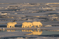 Polar Bears on Ice Floe Resolute North West Passage Canadian Arctic -EXPLORED (eriagn) Tags: northamerica canada canadianarctic higharctic northwestpassage princeleopoldisland birdsanctuary mirrored nunavut qausuittuq qikiqtaaluk quttiktuq ice arid summer cold climate extreme icefloes frigid zodiac russianscientificvessel akademikioffe akademikvavilov franklinexpedition weather arcticskies white blinding remote eriagn ngairehart documentary photography 70thanniversarystroch expedition calm moodiness grey bleak spectacular landscape history historic inuit seamammal parrychannel devonisland lancastersound nature wildlife birds birding kittiwakes fulmars nesting sheer survival princeregentinlet geology rock polarbear beardedseal seal prey kill cubs polarbearfemale polarbeartwins strata iceberg season deepnorth explore explored