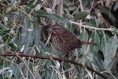 Song sparrow, Sunnyside Wildlife Area (jlcummins - Washington State) Tags: wildlife nature washingtonstate bird songsparrow sunnysidewildlifearea
