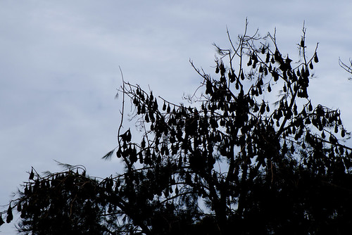 Flying fox colony