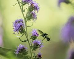 pollen-drunk bombus meandering its way around a liatris (amy buxton) Tags: amybuxton stlouis liatris bombus pollinator garden pollen fall autumn insect bumblebee bee americanbumblebee bombuspensylvanicus