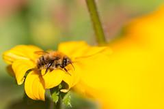 Rudbeckia Bee (oandrews) Tags: bee bombuspascuorum bumblebee canon canon70d canonuk carderbee garden insect insects invertebrate invertebrates minibeast minibeasts nature outdoors wildlife