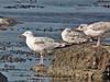 Kaspisk trut Caspian Gull Larus cachinnans (Bjorn Johansson) Tags: kaspisktrut caspiangull laruscachinnans gulls