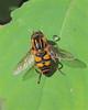 Helophilus Syrphid Fly (milesizz) Tags: diptera milwaukee wisconsin wi helophilus helophilusfasciatus eristalini aschiza syrphidae syrphidflies eristalinae