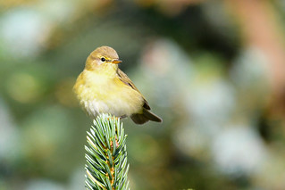 Laufsöngvari - Willow Warbler - Phylloscopus trochilus