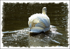 Ruffled feathers. (Country Girl 76) Tags: swan ruffled feathers reflections canal skipton yorkshire