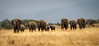 Greeting Committee (scottshooter) Tags: tanzania elephants ethan kinsey tarangire national park