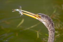 Spear Fishing! (Linda Martin Photography) Tags: morikamijapanesegardens po wildlife anhingaanhinga oriana nature fish birds usa anhinga florida coth alittlebeauty specanimal coth5 ngc sunrays5 npc