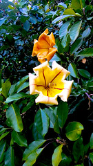 Golden Chalice Vine (Crossanity) Tags: large yellow flower golden chalice vine nature colours color plant bloom leaves center