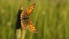 Même pour le simple envol d'un papillon tout le ciel est nécessaire. Paul Claudel (passionpapillon) Tags: macro papillon butterfly mariposa farfalla insecte passionpapillon 2017 mélitée