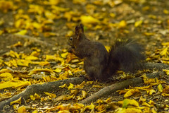 squirrel (Bojan Žavcer) Tags: squirrel wildlife nature blue green orange red eye fauna colorful depthoffield wing abstract color outdoor park water white wild avian beautiful birding space long amazing blur broun exotic fascinant fast flight enviromant perching stick sunlight tailed head lovely sonyilce7r 300mmf28