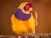 gouldian finch (AlistairKiwi) Tags: gouldian finch bird zoo wagga nsw australia olympus omd bokeh animal