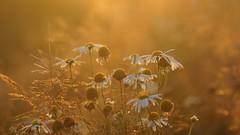 Flowers in the light of the setting sun (pszcz9) Tags: przyroda nature natura zbliżenie closeup kwiat flower wieczór evening bokeh beautifulearth sony a77