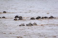 Mara Safari-8246.jpg (MudflapDC) Tags: africa safari herd marariver water vacation mara porinilioncamp plains zebra kenya greatmigration gamewatchers jump maasaimara wildebeast leap dive crossing wilderness masai