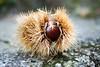 Chestnut (Tommaso Gorla) Tags: castagne castagna chestnut outdoor esterno parco verde autunno autumn green park