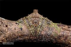 Wrap-around orb weaver (Talthybia sp.) - DSC_6860 (nickybay) Tags: macro singapore riflerangeroad riflerangelink st wraparound orb weaver spider araneidae talthybia