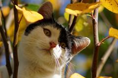 Jimmy_5 (Mitobaehr) Tags: katze cat portr portrait baum tree herbst autum leaf blatter bunt farben