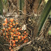 Palm oil fruits. Elaeis guineensis. Make orange stews. Ibadan. W. Reg.