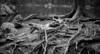 wooden millipede (Toni_V) Tags: m2405332 rangefinder digitalrangefinder messsucher leica leicam typ240 type240 mp 35lux 35mmf14asphfle summiluxm hiking wanderung randonnée escursione puschlav valposchiavo valdacamp laghdasaoseo graubünden grisons grischun bw monochrome schwarzweiss blackwhite dof bokeh wurzeln ragisch alps alpen switzerland schweiz suisse svizzera svizra europe ©toniv 2017 170828 millipede