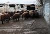 ACP05748.jpg (Reportages ici et ailleurs) Tags: batman nomade tradition sédentaristion koçer mouton bakur yannrenoult turquie kurde hayvan turkey kurdistan