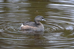 GREBE (concep1941) Tags: birds grebesfamily diverbirds podicipediforesorder freshwater marshes
