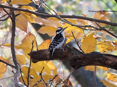 Hairy woodpecker (Jacob Gajewski) Tags: hairy woodpecker kalamazoo michigan canon sx60