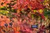 Autumn tint pond (Jennifer 真泥佛) Tags: autumn kyoto japan 紅葉 鴨子 戲水