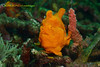 You are so smart ! (kayak_no1) Tags: nikon d800e nauticamhousing 105mmvr diopter ysd1 subsee10 underwater underwaterphotography macro supermacro diving scubadiving uw lembehstrait indonesia frogfish