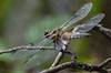 Libellula quadrimaculata in Explore (Timo Halonen) Tags: libellula quadrimaculata fourspottedchaser ruskohukankorento insect dragonfly nikon dx fx d5200 explored