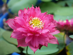 Nelumbo nucifera 'Russell' Wahgarden Thailand 10 (Klong15 Waterlily) Tags: russell nelumbo sacredlotus lotus lotusflower flower landscape wahgarden