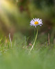 Without darkness, nothing comes to birth, As without light, nothing flowers.May Sarton (Lorrainemorris) Tags: 85mm batis sony7rm2 light sunny flower daisy