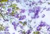 jimbour (nzfisher) Tags: jimbour queensland australia jacaranda tree blossom blossoms flower flowers 85mm canon bokeh f12 purple green spring season seasonality