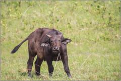 Wait For Me (Mabacam) Tags: 2017 southafrica kwazulunatal stlucia isimangaliso isimangalisowetlandpark buffalo capebuffalo buffalocalf calf animal wildlife nature outdoor
