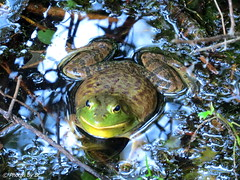 Bull Frog. (~~BC's~~Photographs~~) Tags: bcsphotographs canonsx50 bullfrog sloanspond mammothcavenationalpark kentuckyphotos summer naturephotos hiking outdoors waterscapes closeups ourworldinphotosgroup earthwindandfiregroup explorekentucky