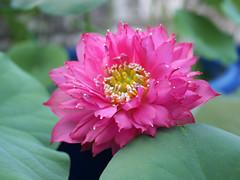 Nelumbo nucifera 'Russell' Wahgarden Thailand 17 (Klong15 Waterlily) Tags: russell nelumbo sacredlotus lotus lotusflower flower landscape wahgarden